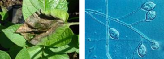 left) Infected potato leaf and right) Phytophtora Infestans.