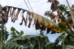 Banana tree  with Panama disease
