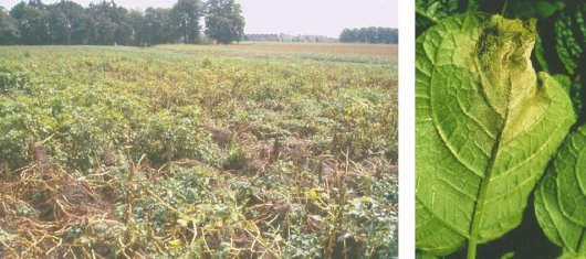 Left: Potato field damaged by late blight. Right: Late blight lesion.