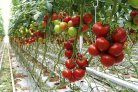 New tomato variety resistant to many insects