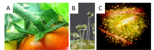 Plant-insect relationships: A: trichomes on tomato plant. B: glandular trichomes. C: microscopy image of tomato leaf with a thrip attached to glandular trichomes.