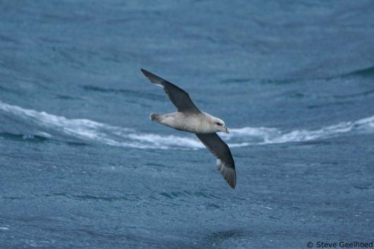 Northern Fulmar (Photo: Steve Geelhoed)