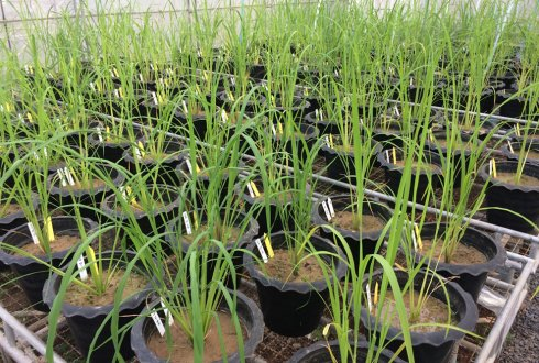 ARDA: Arbuscular Mycorrhizal Fungi and Drought Tolerance of Rice (Oryza sativa)