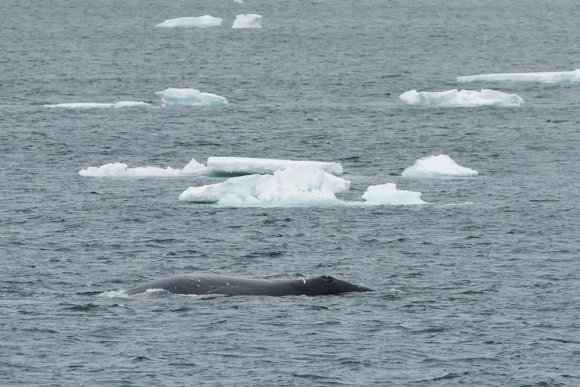 At least 100 Bowhead whales sighted in the East Greenland Sea