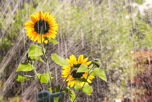 Water productivity of Sunflower under different irrigation regimes on Gezira Clay Soil, Sudan