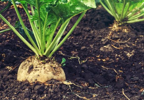 Sugar beet as a raw material for soft drink bottles