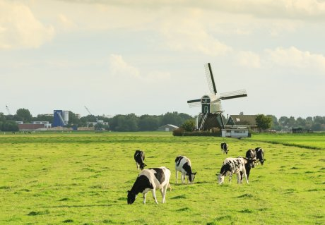 Grazing cows Dutch landscape