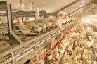 Sensor technologies in animal breeding: Selecting against feather pecking in laying hens