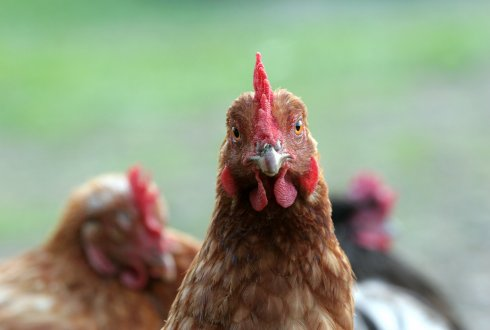 What are the possibilities to improve protein efficiency of laying hens?