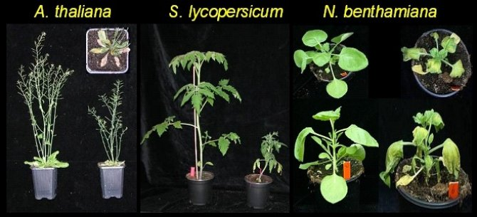 Typical symtoms caused by Verticillium on tale cress, tomato and Australian tobacco