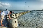How oysters build strong coastlines